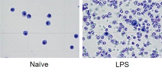 Images from BAL fluid from control (left) and LPS-treated animals (right) demonstrating large increases in neutrophils following LPS-challenge.