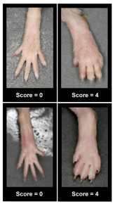 Arthritis Evaluation Scale, example of control and arthritic paws