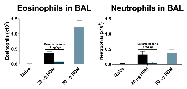 Total eosinophils and neutrophils recovered in BAL fluid on day 15 of an acute HDM model. Mice demonstrated an increase in eosinophils and neutrophils. Note the HDM model results in some neutrophil influx, while OVA demonstrates a primarily eosinophilic response. Dexamethasone significantly lowered total eosinophils and neutrophils in the BAL.
