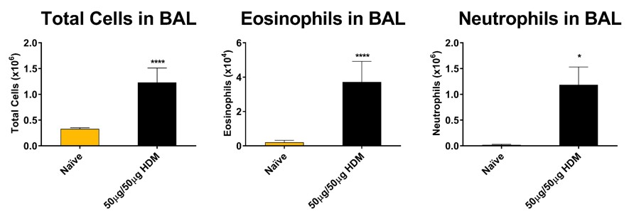 Total cells including eosinophils and neutrophils recovered in BAL fluid on day 16 of a HDM model of severe asthma. Mice demonstrated a significant increase in eosinophils and neutrophils in addition to total cells in BAL fluid.