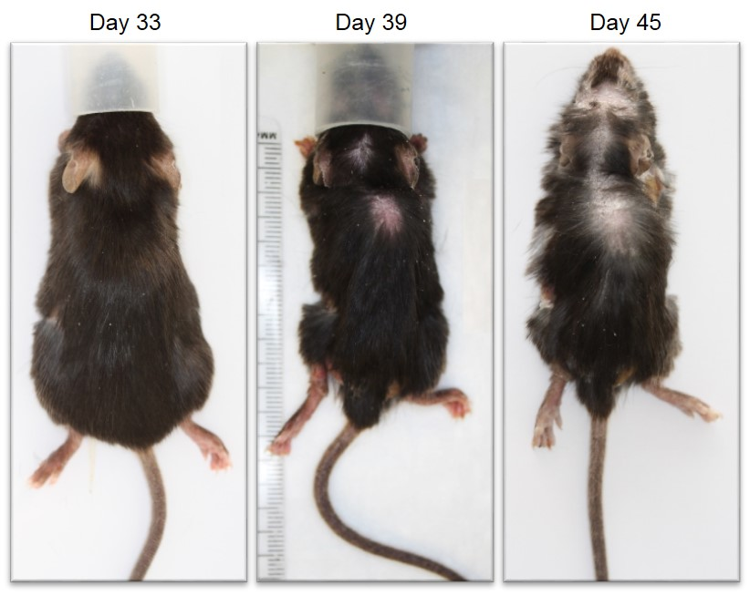 Representative photographs showing the development of sclerodermatous skin lesions over time. Animals are briefly anaesthetized with isoflurane during photography; the animal shown here was photographed immediately after sacrifice on day 45.