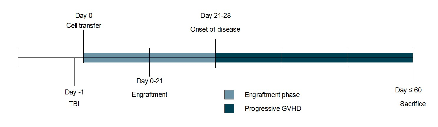 Timeline schematic showing induction schedule and expected onset of disease. Daily measurements include weight change and GVHD score; endpoint collections include blood, broncho-alveolar lavage, and histopathological analysis of selected tissues (e.g. skin, lungs).